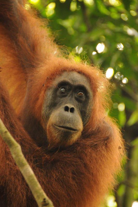 Orang-Utan, Menschenaffen, Bukit Lawang, Gunung-Leuser-Nationalpark, Nord-Sumatra, Trekking, Urwald, Dschungel, Indonesien, Indonesia, Reisebericht, www.wo-der-pfeffer-waechst.de