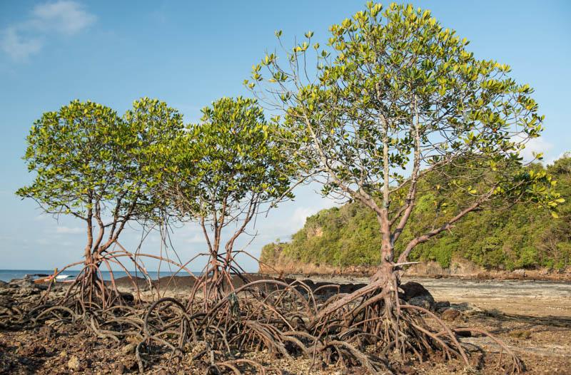 Koh Bulon, Ko Bulon, Leh, Lae, Thailand, Insel, Mangroven, Wald, Küste, Andamanensee, Bilder, Fotos, Reiseberichte, www.wo-der-pfeffer-waechst.de
