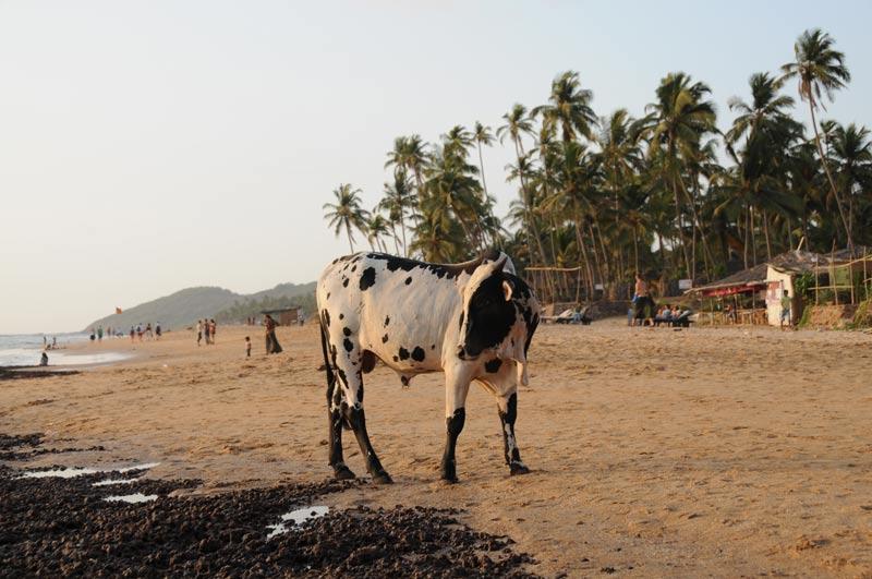 Anjuna Beach, Goa, Kuh, Kühe, cows, Strand, Strände, Indien, India, Reiseberichte, Südasien, Bilder, Fotos, www.wo-der-pfeffer-waechst.de
