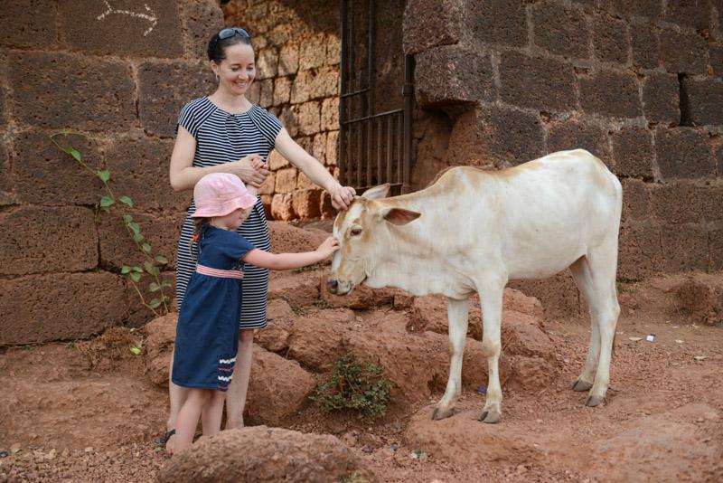 Chapora Fort, Kuh Streicheln, Vagator, Goa, Indien, India, Reisen mit Kindern, Südasien, Bilder, Fotos, Reiseberichte, www.wo-der-pfeffer-waechst.de