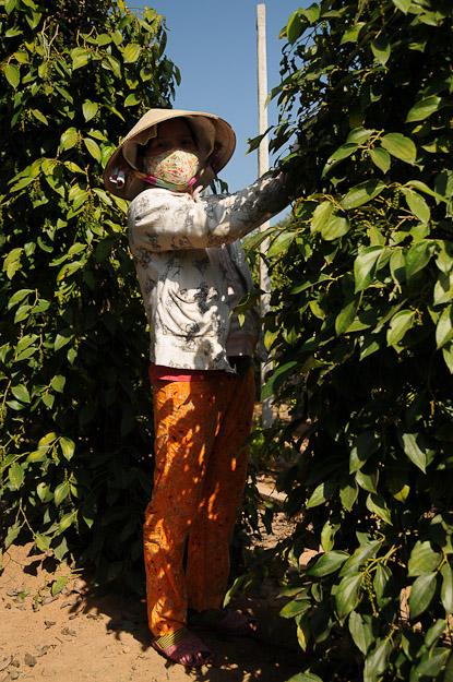 Vietnam, Phu Quoc, Insel, Pfeffer, pepper, www.wo-der-pfeffer-waechst.de