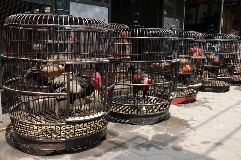 Yogyakarta, Java, Vogelmarkt, Kampfhähne, Indonesien, Reiseberichte, Foto: Heiko Meyer, www.wo-der-pfeffer-waechst.de