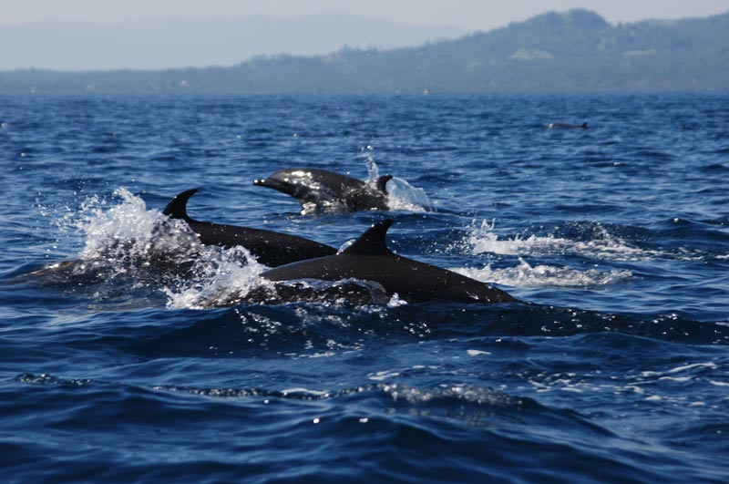 Delfine, Pulau Siladen, Island, Insel, Nord-Sulawesi, Indonesien, Indonesia, Reiseberichte, Foto: Heiko Meyer, www.wo-der-pfeffer-waechst.de