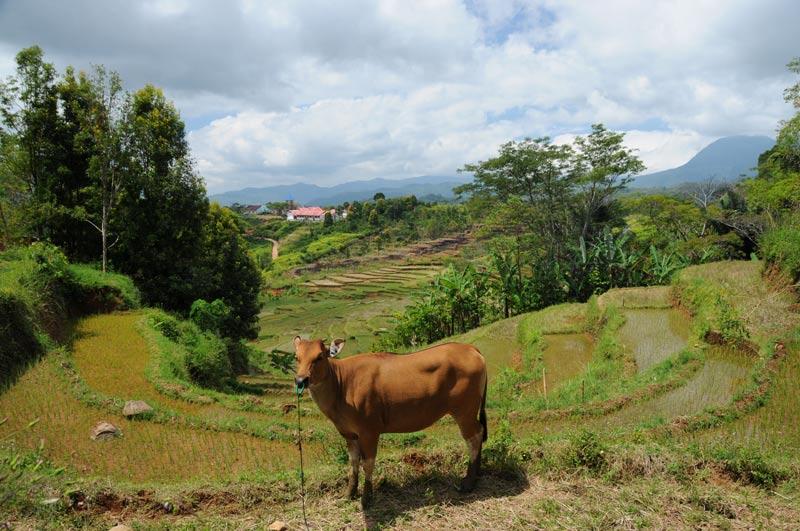 Indonesien, Indonesia, Ruteng, Reisfelder, kleine Sunda, Pulau, West-Flores, Reiseberichte, Foto: Heiko Meyer, www.wo-der-pfeffer-waechst.de