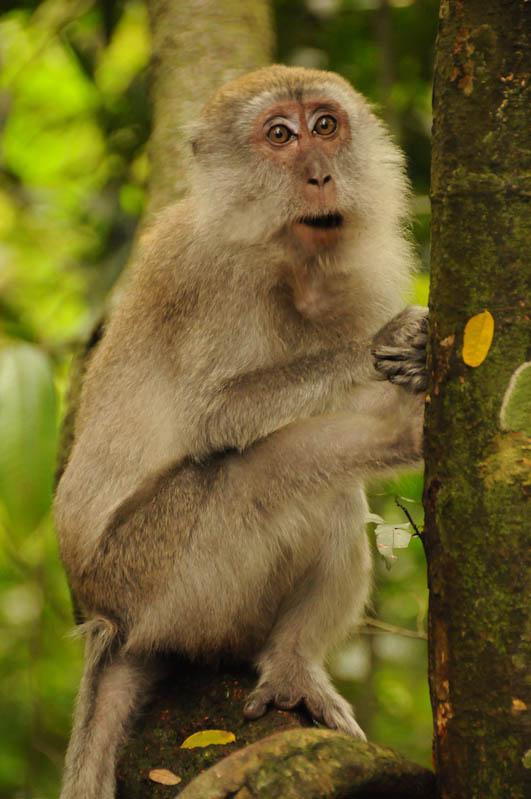 Affen, Bukit Lawang, Gunung-Leuser-Nationalpark, Nord-Sumatra, Trekking, Urwald, Dschungel, Indonesien, Indonesia, Reisebericht, www.wo-der-pfeffer-waechst.de