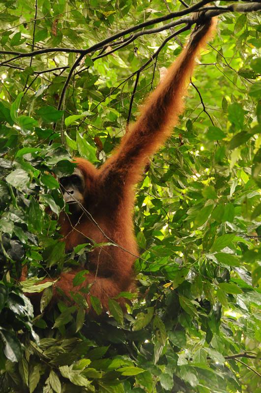 Orang-Utan, Affen, Bukit Lawang, Gunung-Leuser-Nationalpark, Nord-Sumatra, Trekking, Urwald, Dschungel, Indonesien, Indonesia, Reisebericht, www.wo-der-pfeffer-waechst.de