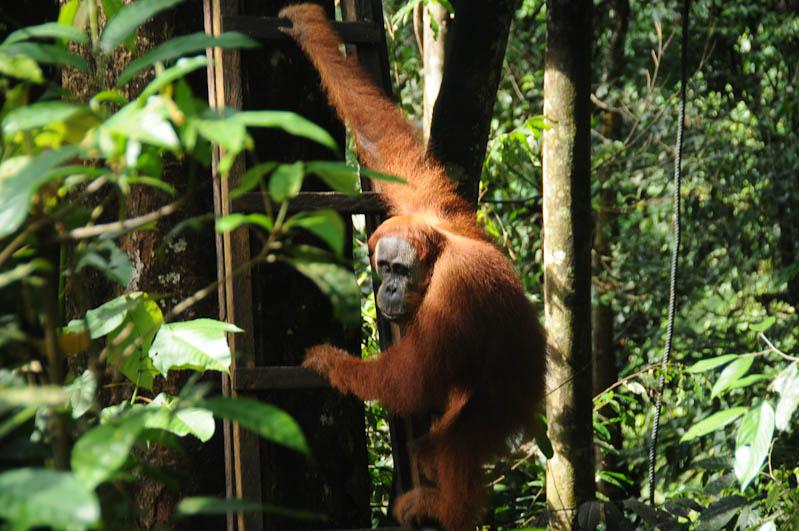 Orang-Utan-Rehabilitationsstation, Fütterungsplattform, Bukit Lawang, Fluss, Gunung-Leuser-Nationalpark, Nord-Sumatra, Indonesien, Indonesia, Reisebericht, www.wo-der-pfeffer-waechst.de