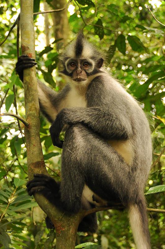 Thomas-Langur, Affen, Bukit Lawang, Gunung-Leuser-Nationalpark, Nord-Sumatra, Trekking, Urwald, Dschungel, Indonesien, Indonesia, Reisebericht, www.wo-der-pfeffer-waechst.de
