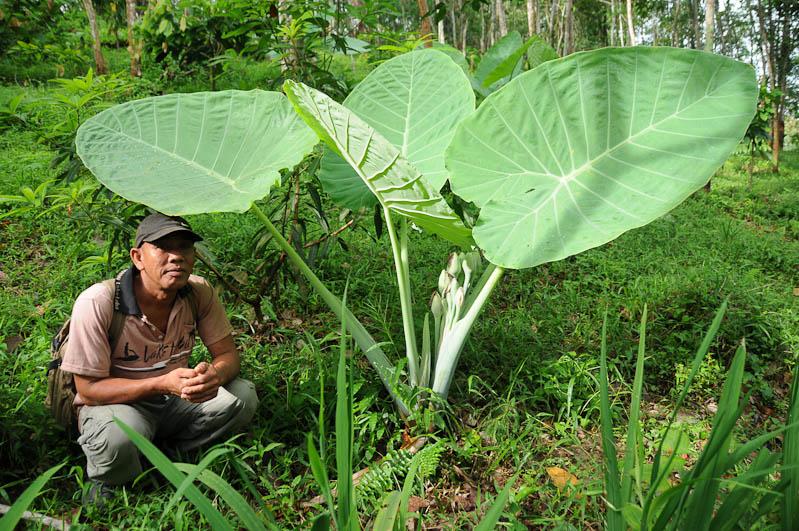 Bukit Lawang, Gunung-Leuser-Nationalpark, Ranger, Nord-Sumatra, Trekking, Urwald, riesige Blätter, Dschungel, Indonesien, Indonesia, Reisebericht, www.wo-der-pfeffer-waechst.de