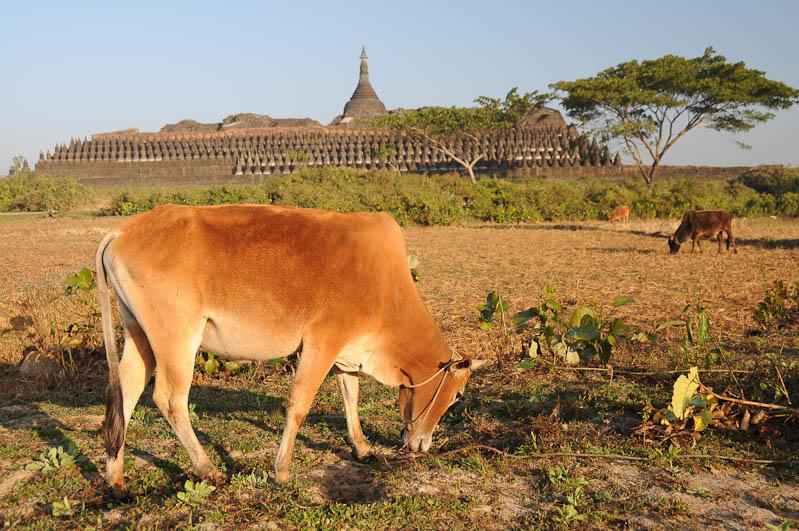 Kothaung-Tempel, Mrauk U, Tempel, Paya, Pagoden, Rakhine-Staat, State, Division, Ruine, Schrein der 90.000 Bildnisse, Rinder, Myanmar, Burma, Birma, Reisebericht, www.wo-der-pfeffer-waechst.de