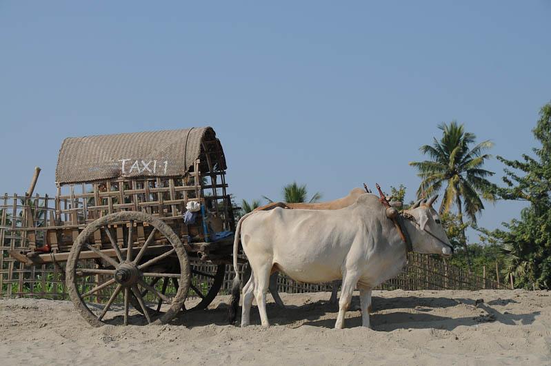 Taxi, Ochsenkarren, oxcarts, Mingun, Myanmar, Burma, Birma, Reisebericht, www.wo-der-pfeffer-waechst.de