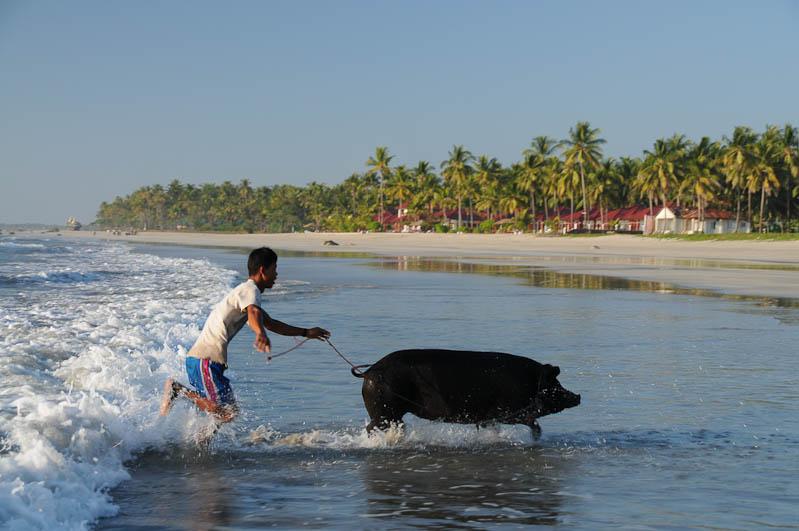 Ngwe Saung Beach, Strand, Schwein, Myanmar, Burma, Birma, Golf von Bengalen, Reisebericht, www.wo-der-pfeffer-waechst.de