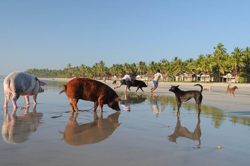 Ngwe Saung Beach, Strand, Schweine, Hunde, Tiere, Myanmar, Burma, Birma, Golf von Bengalen, Reisebericht, www.wo-der-pfeffer-waechst.de