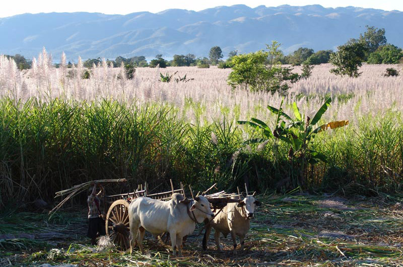 Myanmar, Burma, Birma, Trekking, Wandern, Shan-Staat, state, division, Zuckerrohr, Ochsenkarren, Bauern, Reiseberichte, www.wo-der-pfeffer-waechst.de