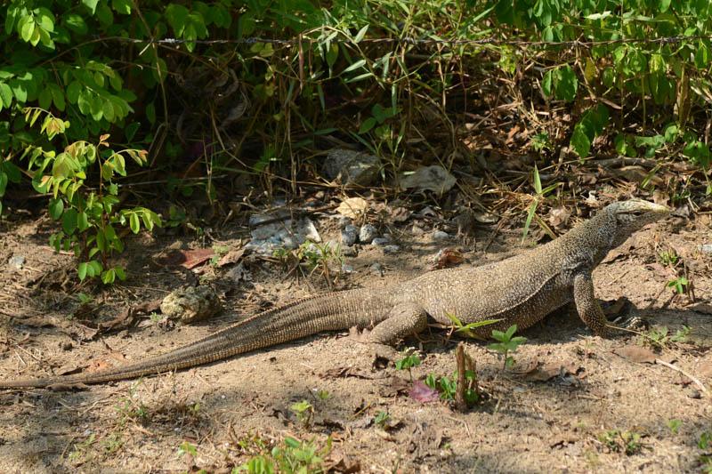 Koh Bulon, Ko Bulon, Leh, Lae, Thailand, Warane, Monitor lizard, Insel, Andamanensee, Bilder, Fotos, Reiseberichte, www.wo-der-pfeffer-waechst.de