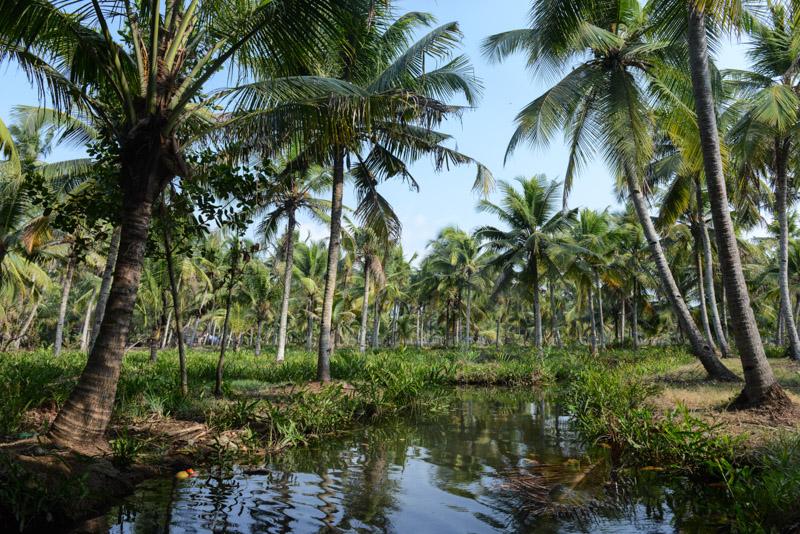 Kokospalmen, Backwaters-Tour, Kerala, Kanu, Munroe Island, Monroe Island, Kollam, Südindien, Kuttanad, Reisetipps, Reisen mit Kindern, Rundreisen, Asien, Reiseberichte, Reiseblogger, www.wo-der-pfeffer-waechst.de