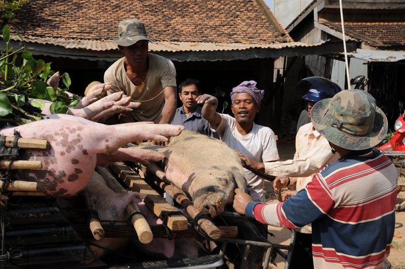 Schweine, Transport, Pick-up, Kampong Thom, Kambodscha, Reisebericht, Cambodia, Reisetipps, Südostasien, Bilder, Foto: Heiko Meyer, www.wo-der-pfeffer-waechst.de