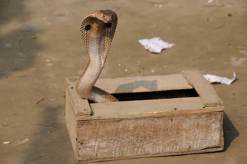 Kobra, Schlange, Ghuaradia, Dhaka, Tagesausflug, Tagestour, Bangladesch, Reiseberichte, Foto: Heiko Meyer, www.wo-der-pfeffer-waechst.de