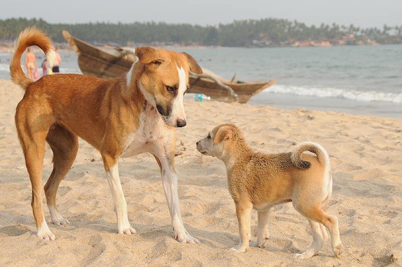 Hunde, Palolem Beach, Goa, Strände, Strand, Südgoa, Indien, India, Südasien, Bilder, Fotos, Reiseberichte, Foto: Heiko Meyer, www.wo-der-pfeffer-waechst.de