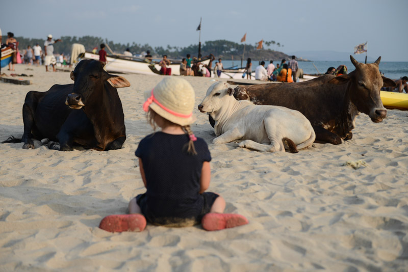 Kühe, Reisen mit Kindern, Palolem Beach, Goa, Strände, Strand, Südgoa, Indien, India, Südasien, Bilder, Fotos, Reiseberichte, Foto: Heiko Meyer, www.wo-der-pfeffer-waechst.de